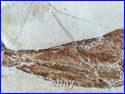 Lebanon Fossil, New species, Unnamed Fish from Haqil, 100 Million Years