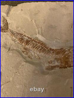 Lebanon Fossil, Prionolepis And Fish In Stomach, Cretaceous 100 million Years