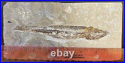 Lebanon Fossil, Prionolepis Fish From Hgula, Cretaceous, 100 Million Years