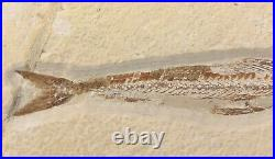 Lebanon Fossil, Prionolepis With Great Colors, Cretaceous 100 Million Years