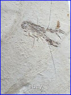 Lebanon Fossil, Pseudastacus-Lobster from Haqil, Cretaceous 100 Million Years
