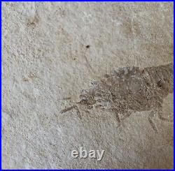 Lebanon Fossil, Unnamed Crustacean From Haqil, Cretaceous, 100 Million Years