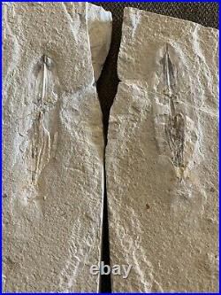 Lebanon Fossil, Very Rare Pos/Neg Squid With Ink Sac, 100 Million Years