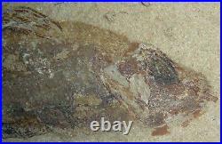 Macropomoides Coelacanth Natural Color 100 Million Years Fossil From Lebanon