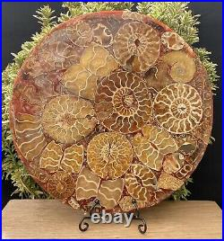 Massive 10 Just Under 1kg Crystal Formed Ammonite Fossil 416 Million Years Old