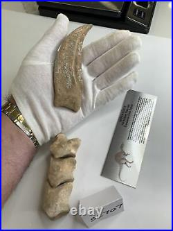 Massive Spinosaurus Dinosaur Claw and Finger Digits 100 Million Years Old 57/8