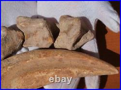 Massive Spinosaurus Dinosaur Claw with finger digits 60 Million Years Old