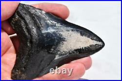 Megalodon Shark Teeth XL Real FOSSIL 5 24 million year old 93mm 3.7 2555ou