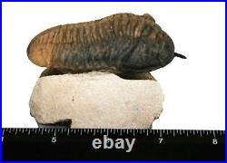 Morocconites TRILOBITE Fossil Morocco 390 Million Years old #14917 15o