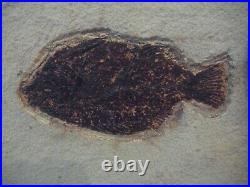 NATURAL PISCACARA FOSSIL FISH 140mm 50 million years old PERFECT BONE FINS st36