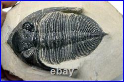 Odontochile TRILOBITE Fossil Morocco 390 Million Years old #15747 18o