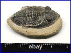 Odontochile TRILOBITE Fossil Morocco 390 Million Years old #15749 14o