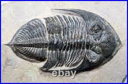 Odontochile TRILOBITE Fossil Morocco 390 Million Years old #15752 25o