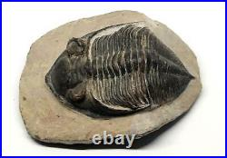 Odontochile TRILOBITE Fossil Morocco 390 Million Years old #15754 20o