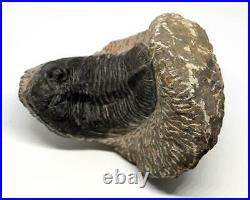 Odontochile TRILOBITE Fossil Morocco 390 Million Years old #15786 25o