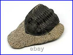 Odontochile TRILOBITE Fossil Morocco 390 Million Years old #15790 14o