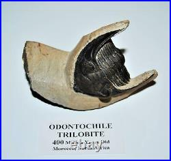 Odontochile TRILOBITE Fossil Morocco 400 Million Years old #13304 16o