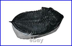 Odontochile TRILOBITE Fossil Morocco 400 Million Years old #13825 15o