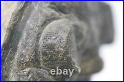 Odontochile TRILOBITE Fossil Morocco 400 Million Years old #15153 21o
