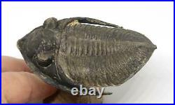 Odontochile TRILOBITE Fossil Morocco 400 Million Years old #15195 14o
