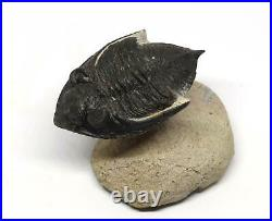 Odontochile TRILOBITE Fossil Morocco 400 Million Years old #15196 13o