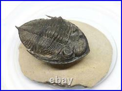 Odontochile TRILOBITE Fossil Morocco 400 Million Years old #15198 19o