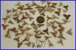 One Pound Bag Of Assorted Shark Teeth 40 Million-55 Million Years Old