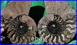 Paar Ammonite Xlg Kristall 172mm 110 Million Year Dinosaurier Alter Fossil a3620