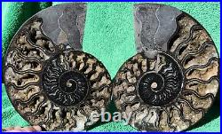 Paar Ammonite Xlg Kristall 172mm 110 Million Year Dinosaurier Alter Fossil a3626