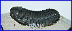 Phacops TRILOBITE Fossil Morocco 390 Million Years old #13310 15o