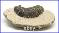 Phacops TRILOBITE Fossil Morocco 390 Million Years old #15151 16o