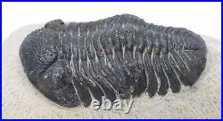 Phacops TRILOBITE Fossil Morocco 390 Million Years old #15206 17o