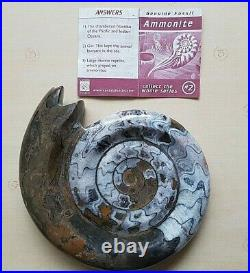 Polished Ammonite Fossil And Information Note, Approx 65 million years ago
