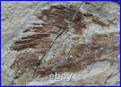 RARE Macropomoides Coelacanth 100 Million Years Fossil Directly From Lebanon