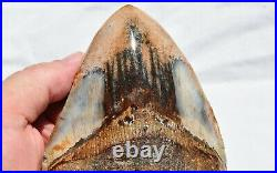 REAL Megalodon Shark Teeth XXLG Fossil from 17 million year 132mm 5.2 560ou