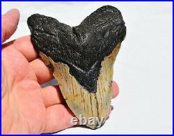 REAL Megalodon Shark Teeth XXXL Fossil about 17 million year 124mm 4.9 559uo