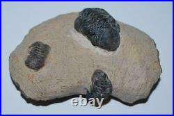 Reedops TRILOBITES (Three) Fossil Morocco 390 Million Years old #1916 20o