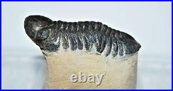 Reedops TRILOBITE Fossil Morocco 390 Million Years old #13325 18o