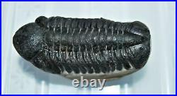 Reedops TRILOBITE Fossil Morocco 390 Million Years old #13328 18o