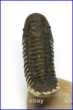 Reedops TRILOBITE Fossil Morocco 390 Million Years old #15168 14o