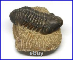 Reedops TRILOBITE Fossil Morocco 390 Million Years old #15209 11o