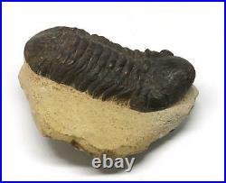 Reedops TRILOBITE Fossil Morocco 390 Million Years old #15210 12o