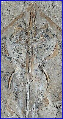 Rhombopterygia 34 Manta Ray 100 Million Years Cretaceous Fossils From Lebanon