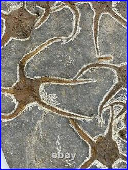 Starfish plaque fossil +150 Million Years Old