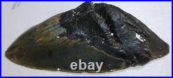 Superb MEGALODON TOOTH 6 inches Killler Shark Tooth 25 MILLION YEARS OLD