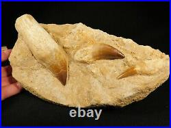 THREE! Natural 100 Million YEAR Old! Mosasaur TOOTH Fossils in Matrix 1905gr