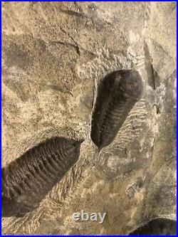 TRILOBITE FOSSIL SPECIMENS IN Origin FORMATION FROM Morocco +450 Million Years