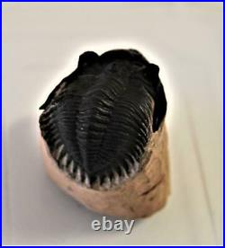 TRILOBITE Metacanthina Fossil Morocco 390 Million Years old #12799 12o