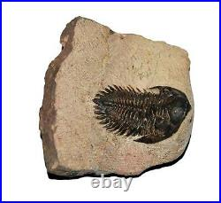 TRILOBITE Metacanthina Fossil Morocco 390 Million Years old #13593 14o
