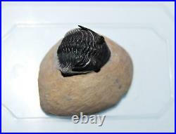TRILOBITE Metacanthina Fossil Morocco 390 Million Years old #13828 12o